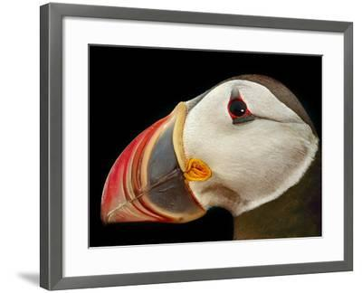 Atlantic Puffin Male, Fratercula Arctica, Norway-Frans Lanting-Framed Photographic Print