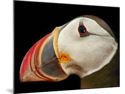 Atlantic Puffin Male, Fratercula Arctica, Norway-Frans Lanting-Mounted Photographic Print