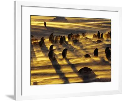 Emperor Penguins in Blizzard, Aptenodytes Forsteri, Weddell Sea, Antarctica-Frans Lanting-Framed Photographic Print