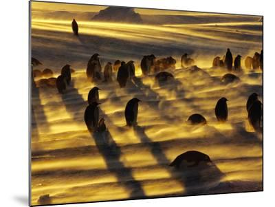 Emperor Penguins in Blizzard, Aptenodytes Forsteri, Weddell Sea, Antarctica-Frans Lanting-Mounted Photographic Print