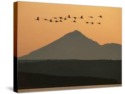 Whistling Swans Flying Near Mt Shasta, Cygnus Columbianus, Klamath Basin Nat'l Wildlife Refuge, CA-Frans Lanting-Stretched Canvas Print