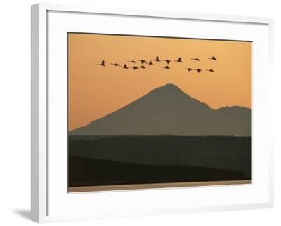 Whistling Swans Flying Near Mt Shasta, Cygnus Columbianus, Klamath Basin Nat'l Wildlife Refuge, CA-Frans Lanting-Framed Photographic Print