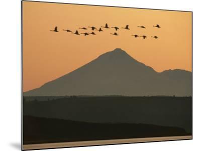 Whistling Swans Flying Near Mt Shasta, Cygnus Columbianus, Klamath Basin Nat'l Wildlife Refuge, CA-Frans Lanting-Mounted Photographic Print