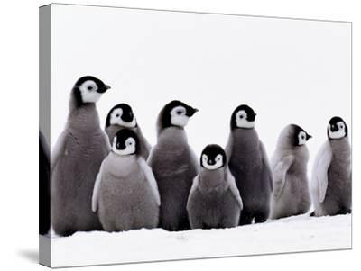 Emperor Penguin Chicks, Aptenodytes Forsteri, Weddell Sea, Antarctica-Frans Lanting-Stretched Canvas Print