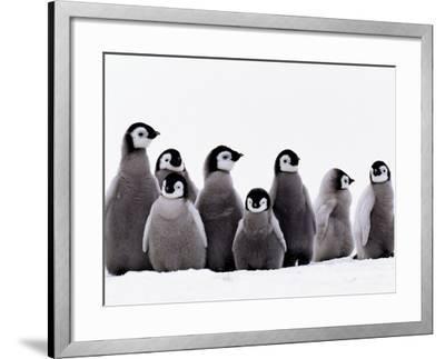 Emperor Penguin Chicks, Aptenodytes Forsteri, Weddell Sea, Antarctica-Frans Lanting-Framed Photographic Print