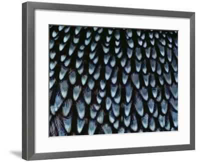 California Quail Breast Feathers, Callipepla Californica, California-Frans Lanting-Framed Photographic Print
