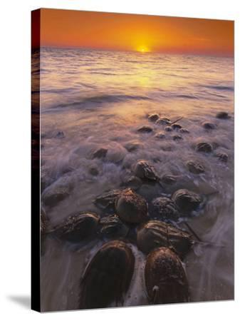 Horseshoe Crabs Spawning, Limulus Polyphemus, Delaware Bay, New Jersey-Frans Lanting-Stretched Canvas Print