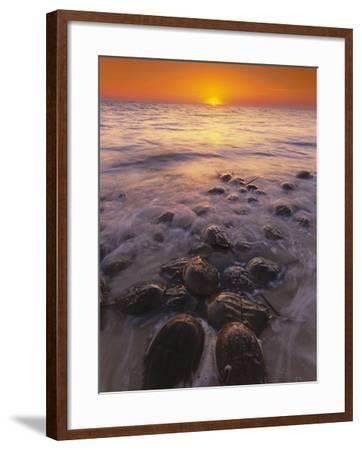 Horseshoe Crabs Spawning, Limulus Polyphemus, Delaware Bay, New Jersey-Frans Lanting-Framed Photographic Print