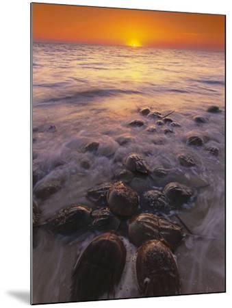 Horseshoe Crabs Spawning, Limulus Polyphemus, Delaware Bay, New Jersey-Frans Lanting-Mounted Photographic Print