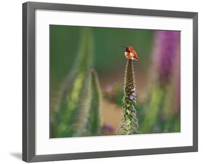 Rufous Hummingbird, Selaphorus Rufus, on Flower Stalk, Monterey Bay, California-Frans Lanting-Framed Photographic Print