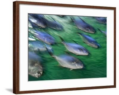 Snub-Nosed Darts, Trachinotus Blochii, Sydney Aquarium, Australia-Frans Lanting-Framed Photographic Print