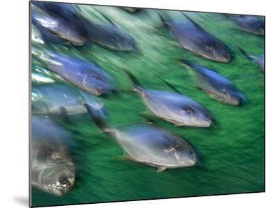 Snub-Nosed Darts, Trachinotus Blochii, Sydney Aquarium, Australia-Frans Lanting-Mounted Photographic Print