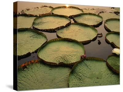 Giant Water Lilies, Victoria Regia, Paraguay River, Pantanal, Brazil-Frans Lanting-Stretched Canvas Print