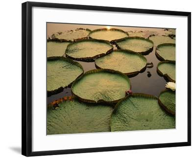 Giant Water Lilies, Victoria Regia, Paraguay River, Pantanal, Brazil-Frans Lanting-Framed Photographic Print