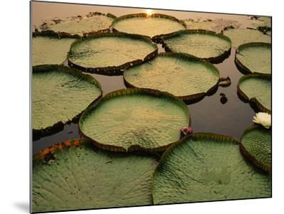 Giant Water Lilies, Victoria Regia, Paraguay River, Pantanal, Brazil-Frans Lanting-Mounted Photographic Print