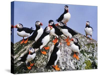 Atlantic Puffin Flock, Fratercula Arctica, Outer Hebrides, Scotland-Frans Lanting-Stretched Canvas Print