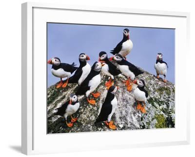 Atlantic Puffin Flock, Fratercula Arctica, Outer Hebrides, Scotland-Frans Lanting-Framed Photographic Print