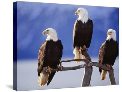 Bald Eagles, Haliaeetus Leucocephalus, Southeast Alaska-Frans Lanting-Stretched Canvas Print