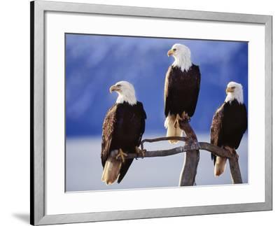 Bald Eagles, Haliaeetus Leucocephalus, Southeast Alaska-Frans Lanting-Framed Photographic Print