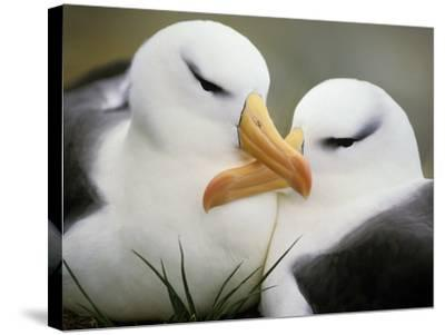 Black-Browed Albatrosses Courting, Thalassarche Melanophrys, South Georgia Island-Frans Lanting-Stretched Canvas Print