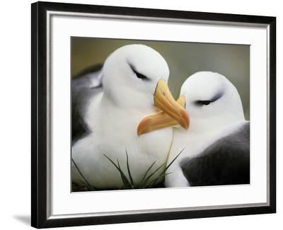 Black-Browed Albatrosses Courting, Thalassarche Melanophrys, South Georgia Island-Frans Lanting-Framed Photographic Print