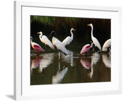 Great Egrets, Ardea Alba, Wood Storks, Mycteria Americana, and Roseate Spoonbill, Pantanal, Brazil-Frans Lanting-Framed Photographic Print