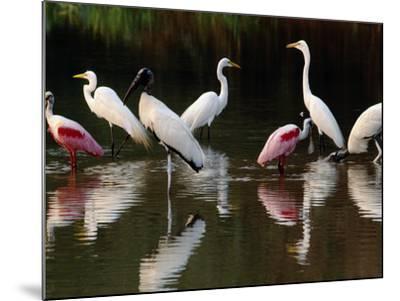 Great Egrets, Ardea Alba, Wood Storks, Mycteria Americana, and Roseate Spoonbill, Pantanal, Brazil-Frans Lanting-Mounted Photographic Print