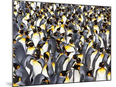King Penguin Colony, Aptenodytes Patagonicus, South Georgia Island-Frans Lanting-Mounted Photographic Print