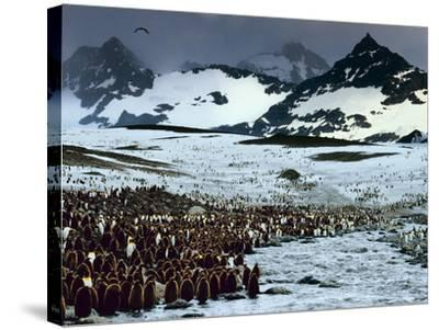King Penguin Colony, Aptenodytes Patagonicus, South Georgia Island-Frans Lanting-Stretched Canvas Print