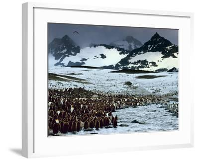 King Penguin Colony, Aptenodytes Patagonicus, South Georgia Island-Frans Lanting-Framed Photographic Print