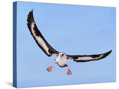 Laysan Albatross Landing, Phoebastria Immutabilis, Hawaiian Leeward Islands-Frans Lanting-Stretched Canvas Print