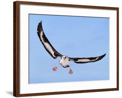 Laysan Albatross Landing, Phoebastria Immutabilis, Hawaiian Leeward Islands-Frans Lanting-Framed Photographic Print