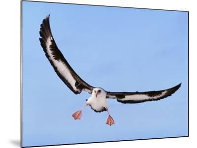 Laysan Albatross Landing, Phoebastria Immutabilis, Hawaiian Leeward Islands-Frans Lanting-Mounted Photographic Print
