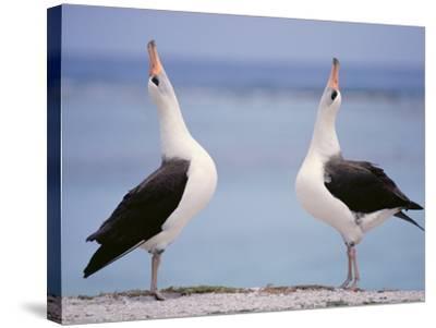 Laysan Albatrosses Courting, Phoebastria Immutabilis, Hawaiian Leeward Islands-Frans Lanting-Stretched Canvas Print