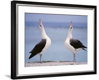 Laysan Albatrosses Courting, Phoebastria Immutabilis, Hawaiian Leeward Islands-Frans Lanting-Framed Photographic Print