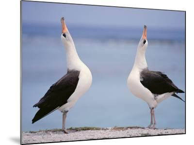 Laysan Albatrosses Courting, Phoebastria Immutabilis, Hawaiian Leeward Islands-Frans Lanting-Mounted Photographic Print