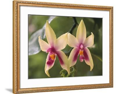 Orchids, Phalaenopsis Violacea, Sarawak, Borneo-Frans Lanting-Framed Photographic Print