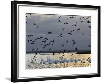 Blue-Footed Boobies Diving for Fish, Sula Nebouxii, Galapagos Islands-Frans Lanting-Framed Photographic Print