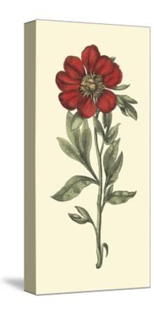 Embellished Blooming Peonies I-Besler Basilius-Stretched Canvas Print