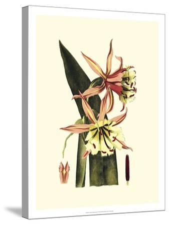 Crackled Striking Beauty I-Vision Studio-Stretched Canvas Print