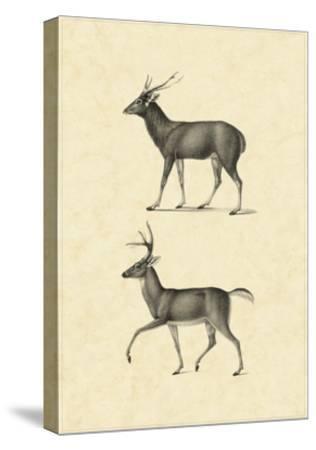 Vintage Deer II-Vision Studio-Stretched Canvas Print