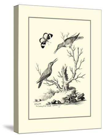 The Hummingbirds, c.1742-George Edwards-Stretched Canvas Print