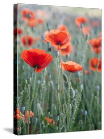 Poppies in Bloom, Washington, USA-Brent Bergherm-Stretched Canvas Print