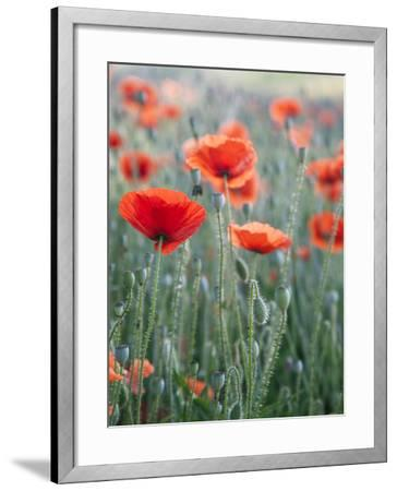 Poppies in Bloom, Washington, USA-Brent Bergherm-Framed Photographic Print