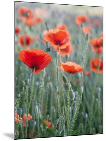 Poppies in Bloom, Washington, USA-Brent Bergherm-Mounted Photographic Print