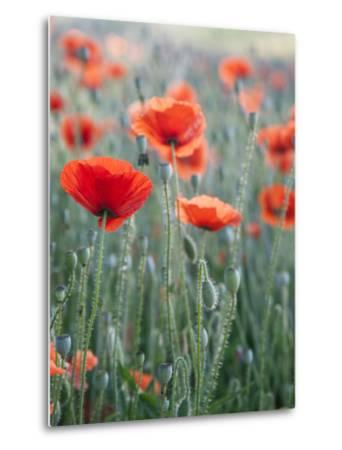 Poppies in Bloom, Washington, USA-Brent Bergherm-Metal Print