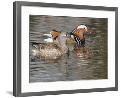 Mandarin Duck, Beijing, China-Alice Garland-Framed Photographic Print