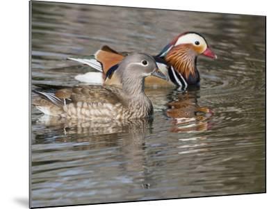 Mandarin Duck, Beijing, China-Alice Garland-Mounted Photographic Print