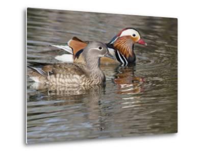 Mandarin Duck, Beijing, China-Alice Garland-Metal Print