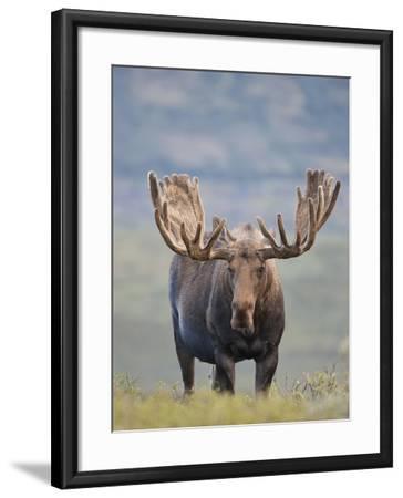 Bull Moose, Denali National Park, Alaska, USA-Hugh Rose-Framed Photographic Print